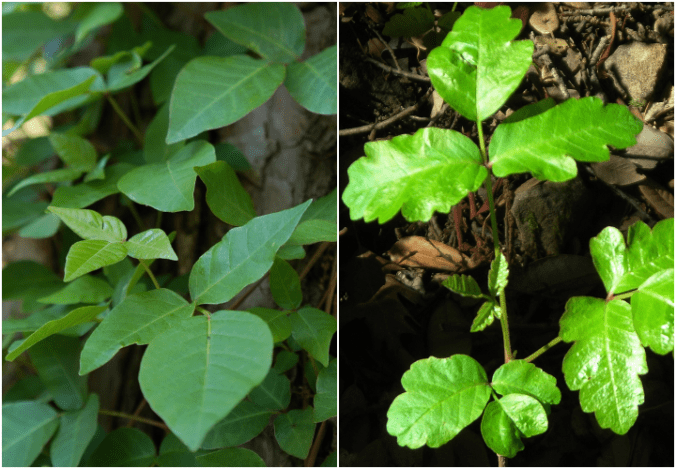 Poison ivy (left) vs. poison oak (right)