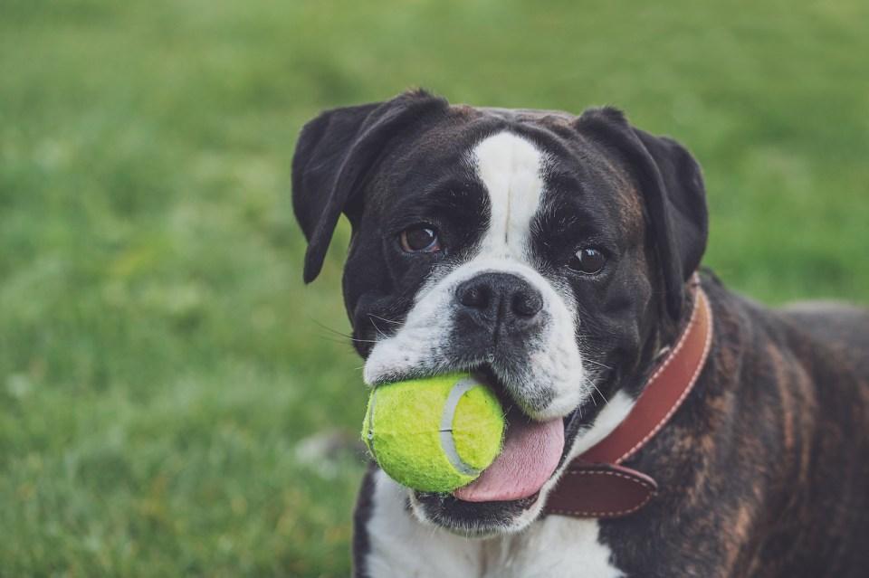 Boxer, una de las mejores razas de perro para ser primera mascota