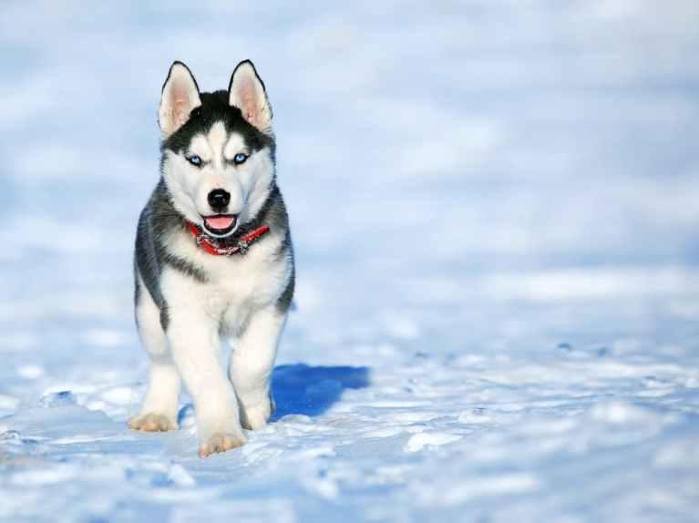 características perro husky