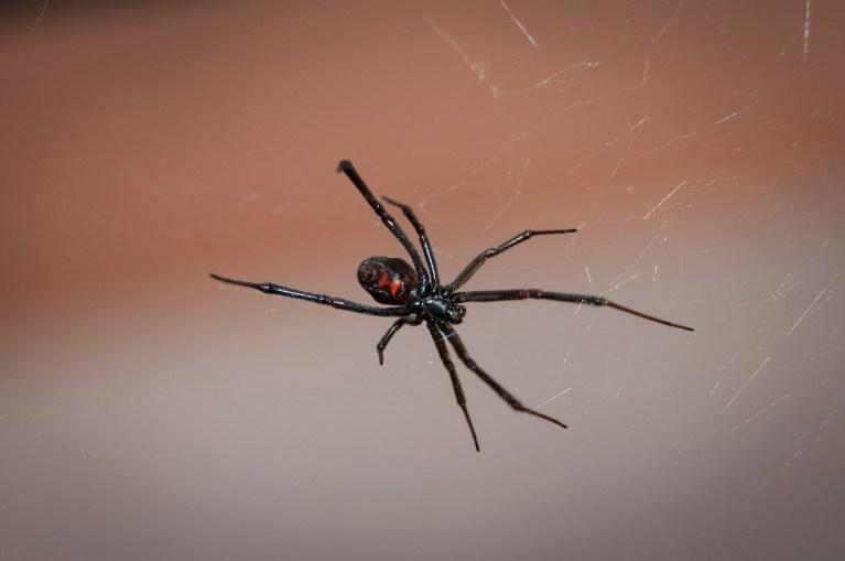 Las arañas más mortíferas y venenosas del planeta