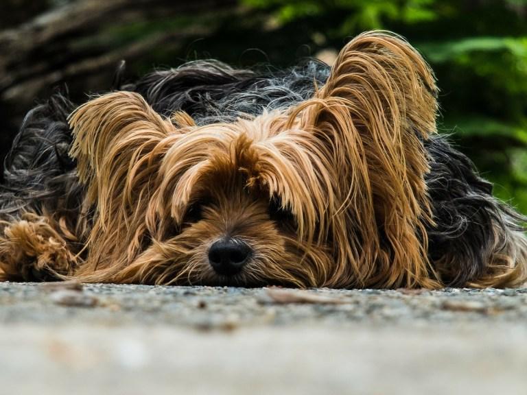 Cómo tratar la diarrea en perros