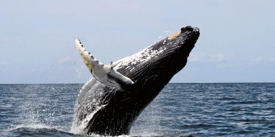 cómo respiran los cetáceos