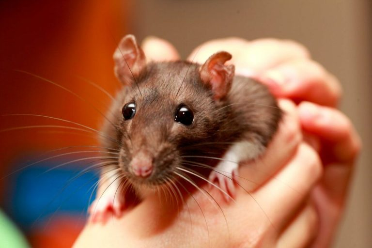 Tener una rata en casa