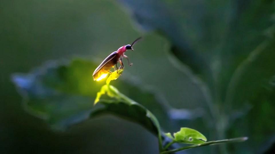 Las luciérnagas se encuentran en peligro de extinción por la contaminación lumínica