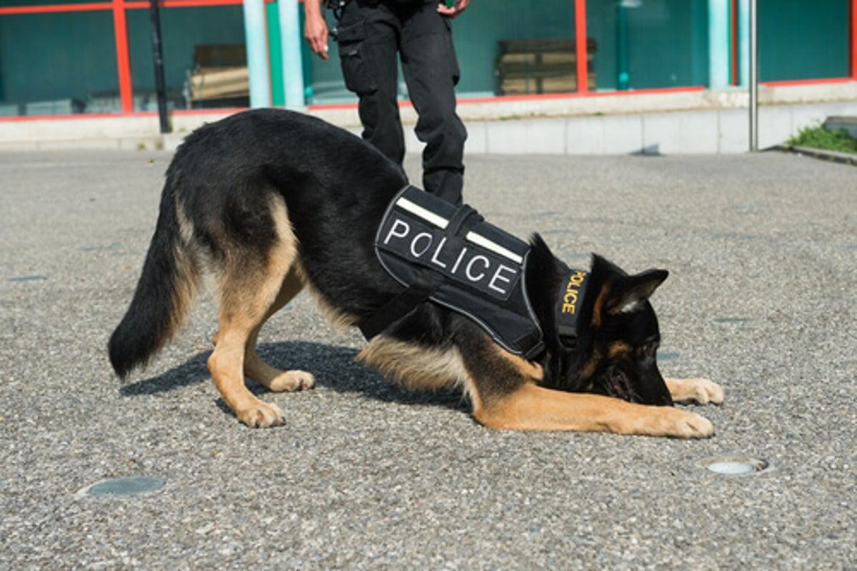 mejores razas para perros policía
