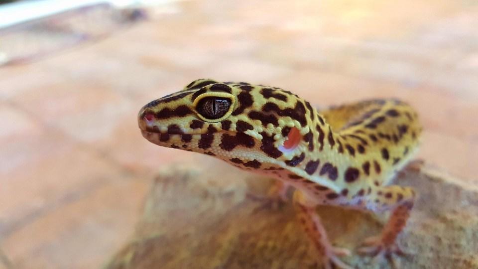 Qué come un gecko