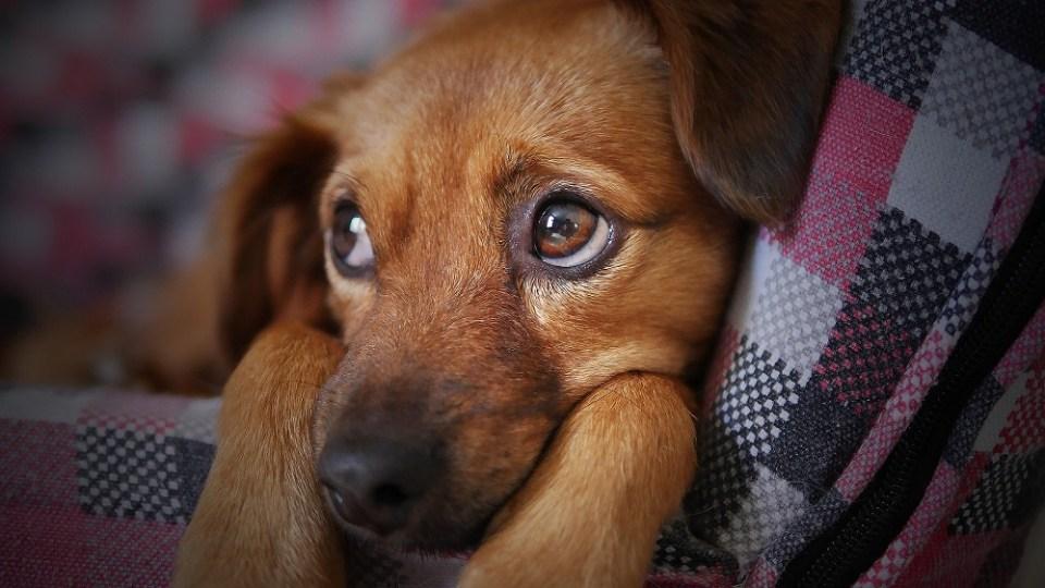Síntomas del cáncer en perros