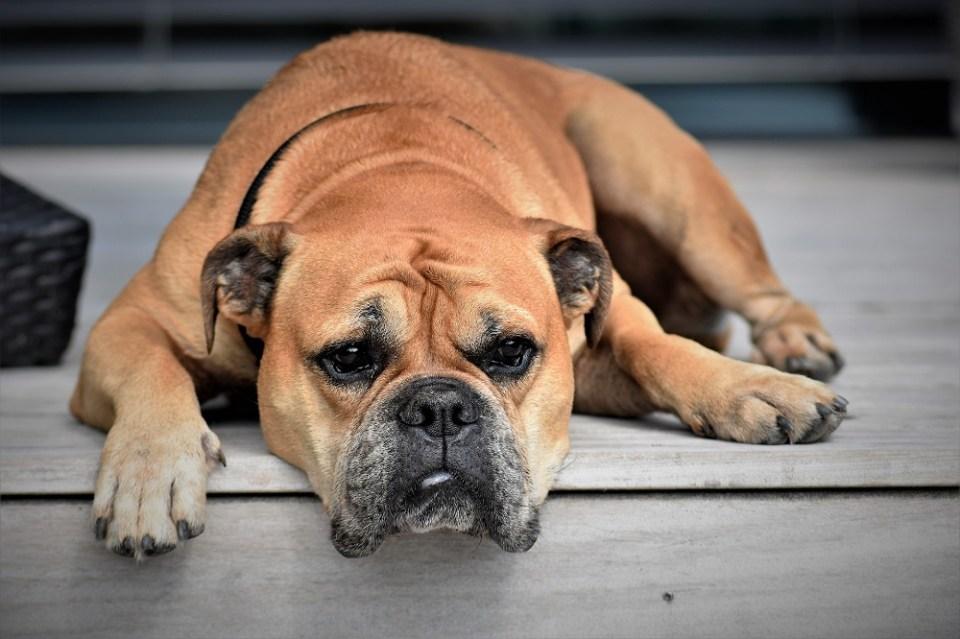 Cómo tratar el cáncer en perros
