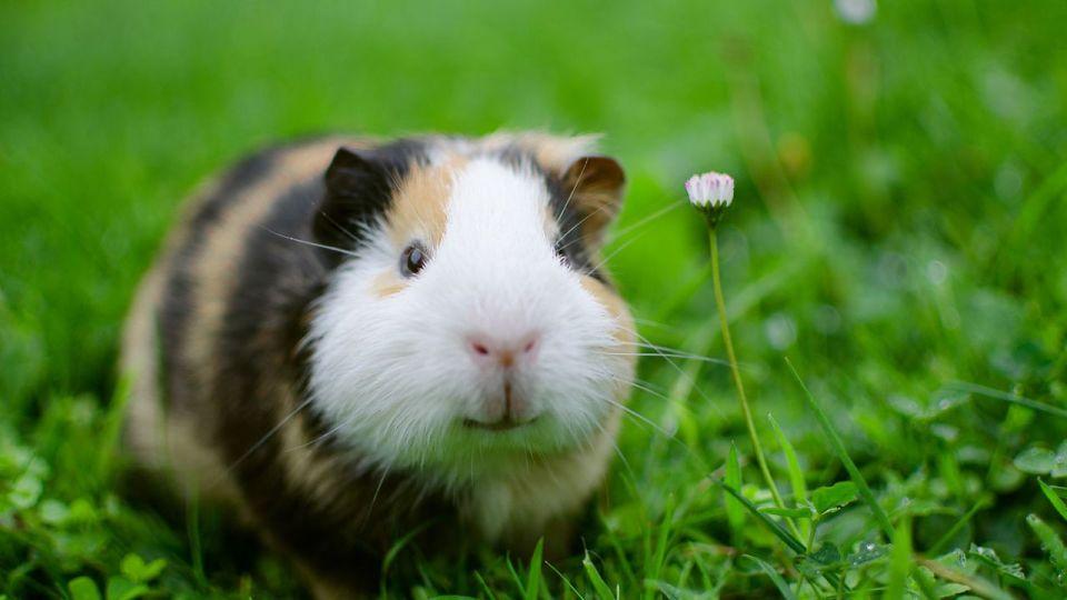 especies de pequeños mamíferos más fáciles de cuidar
