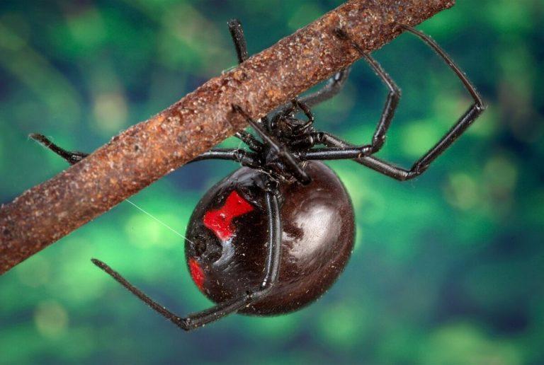 Viuda Negra, una especie venenosa