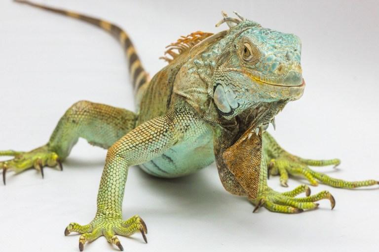 Guía para tener una iguana