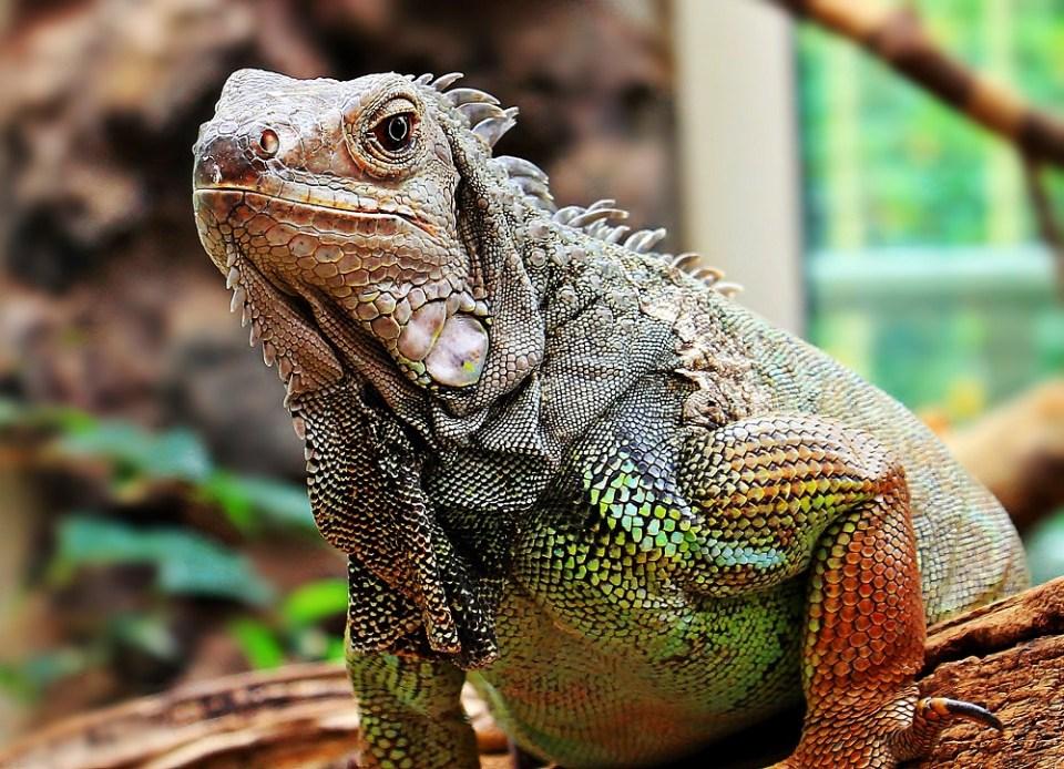 Tener una iguana como mascota qué hay que saber