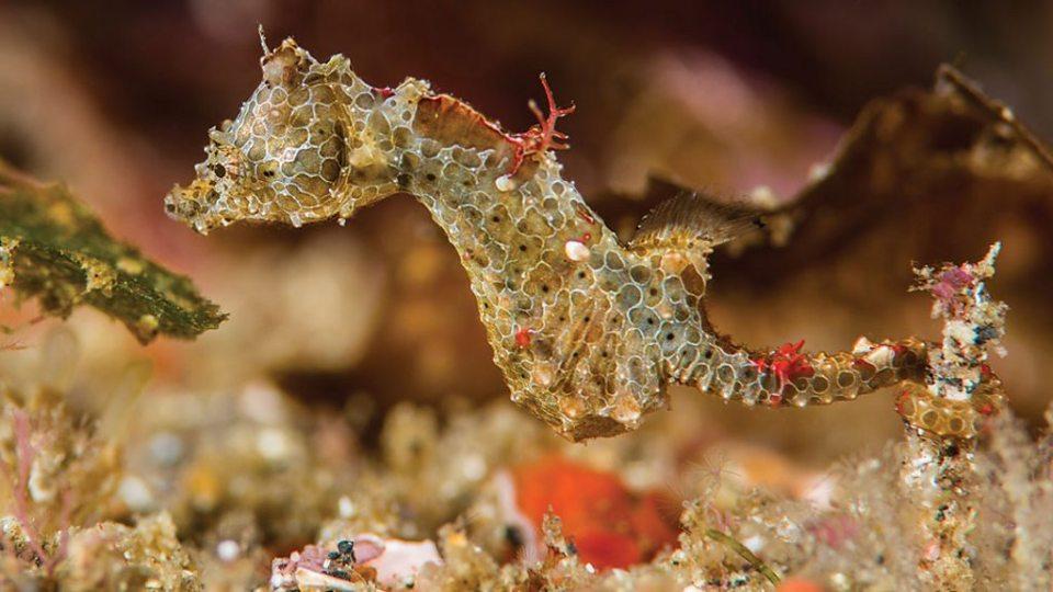 Se ha descubierto una nueva especie de caballito de mar