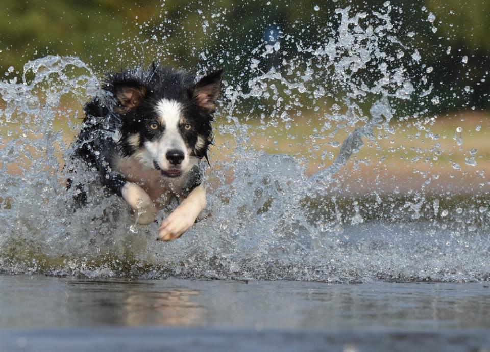 Una de las alternativas para no cortar el pelo de tu perro por el calor, es dejar que se meta en el agua cuando quiera