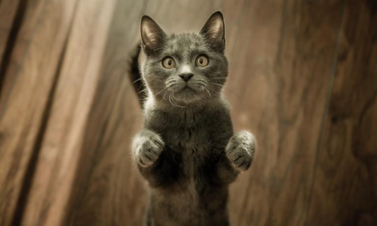 Conoce los motivos por los que tu gato maúlla