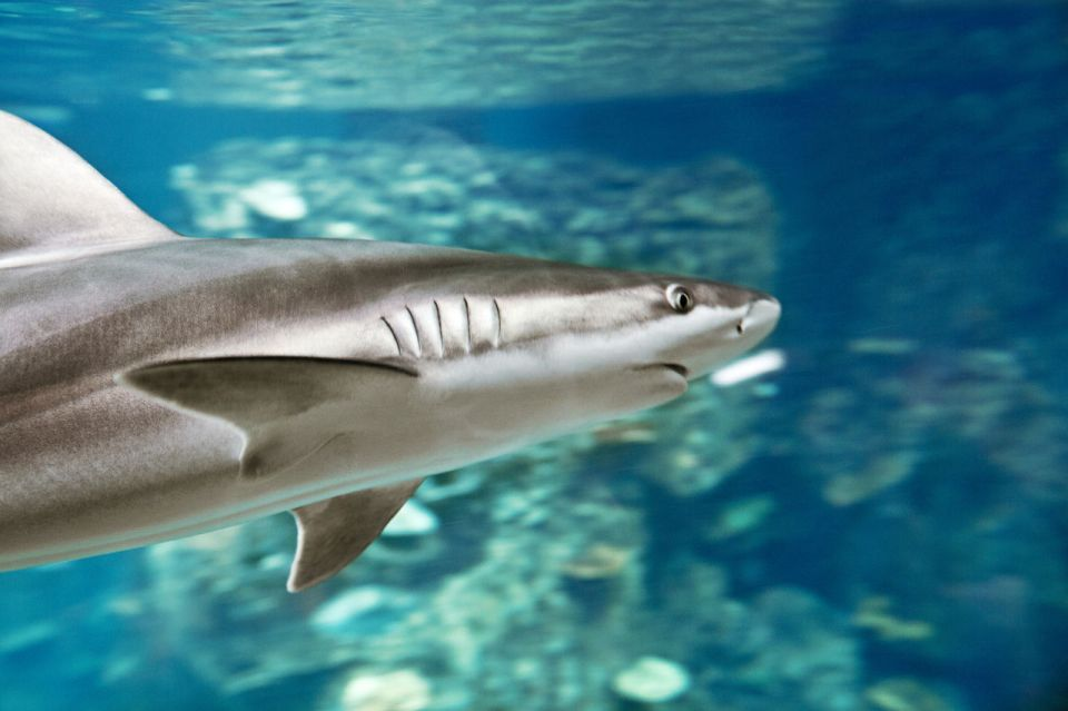 branquias de tiburón sistema respiratorio de los peces