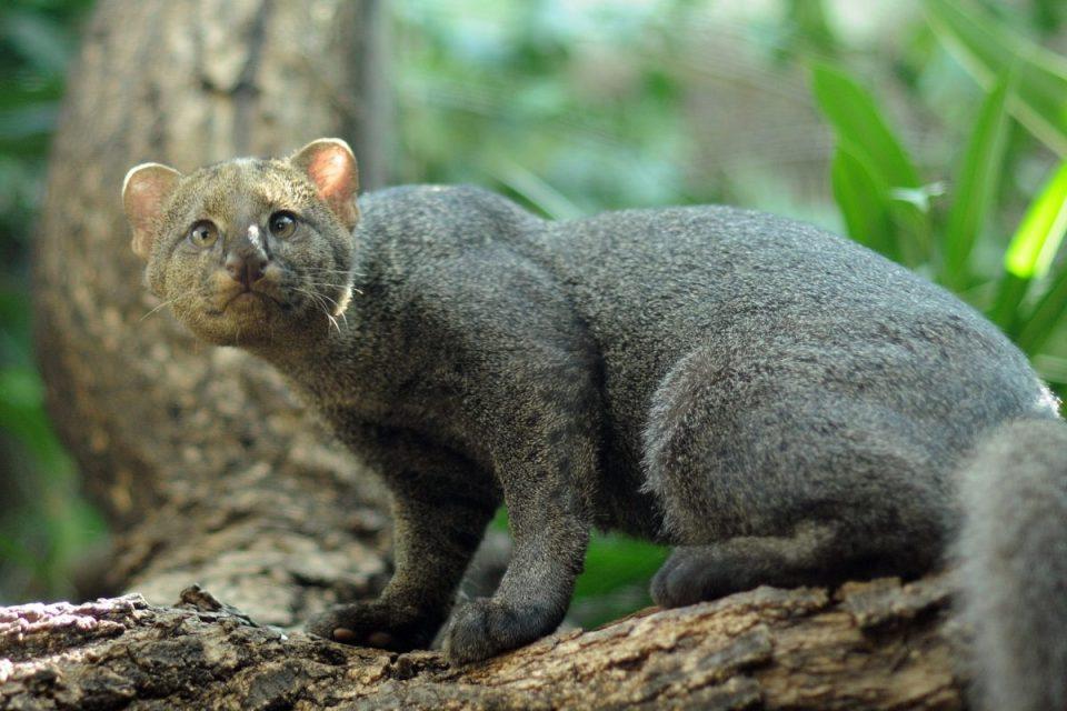 El jaguarundi es uno de los animales menos estudiados