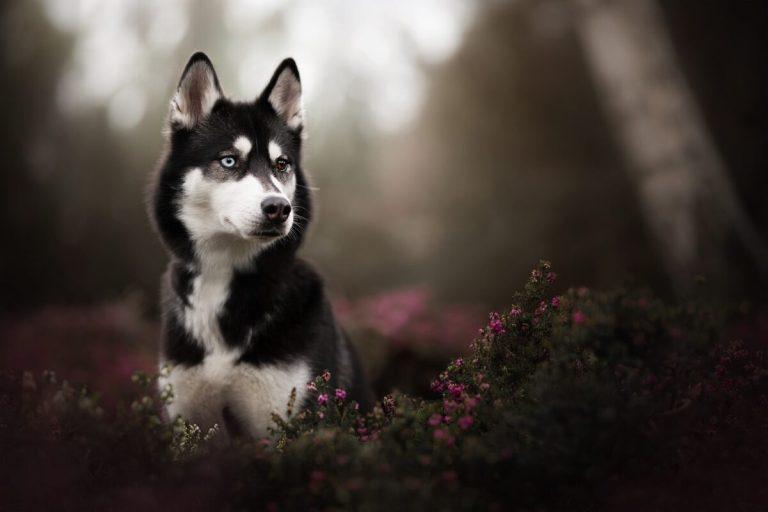 perro Husky de Sajalín