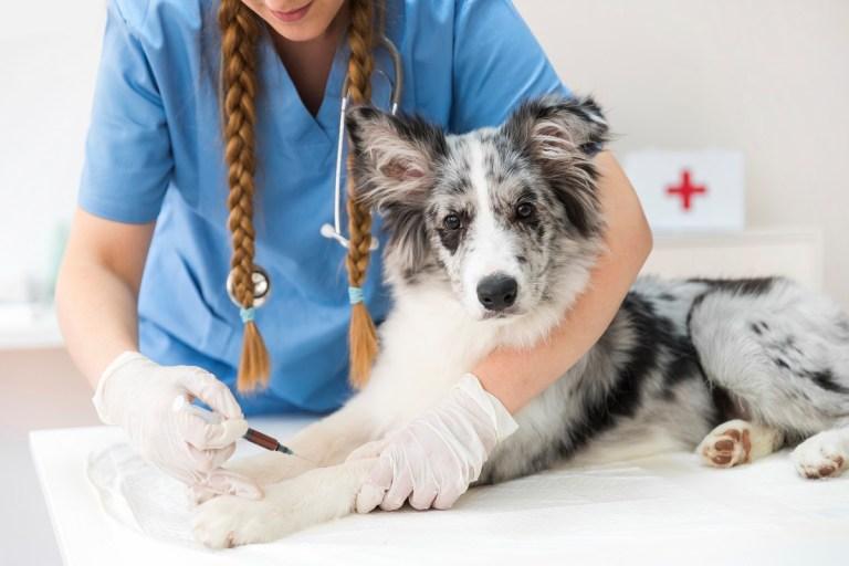 Calendario de vacunación para perros