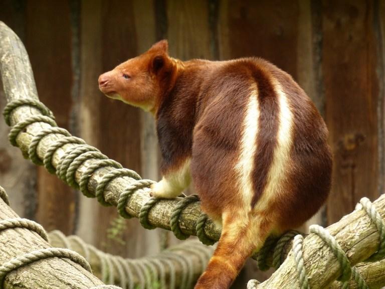 El canguro arborícola de Goodfellow