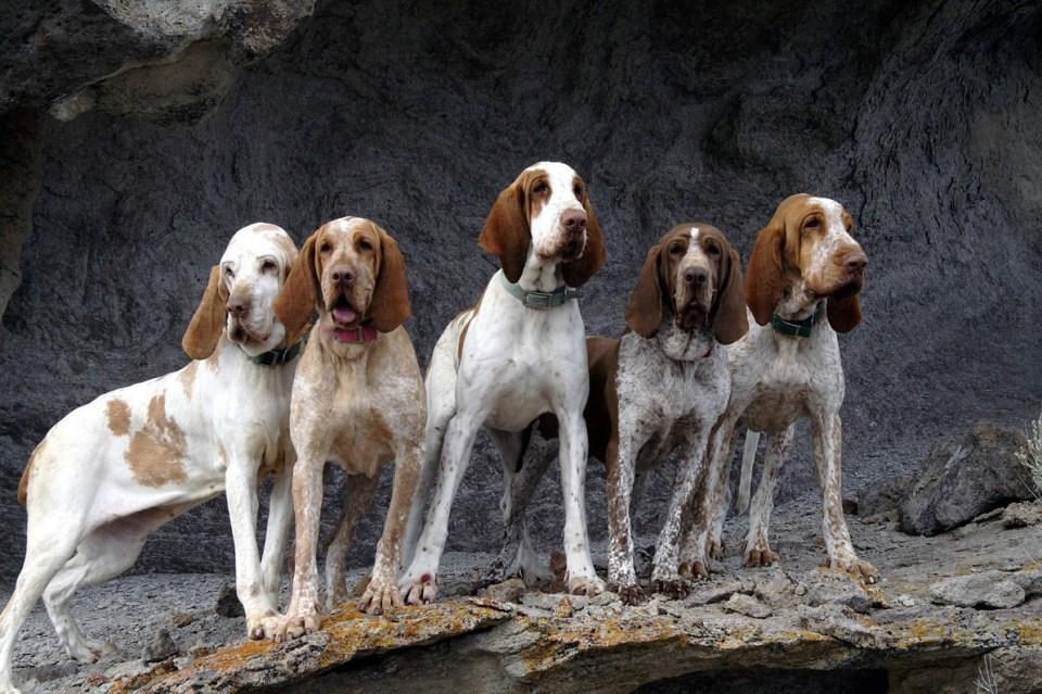 varios ejemplares de perro Braco italiano