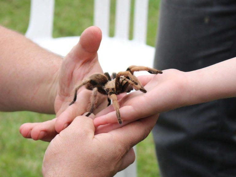 Te contamos por qué es mejor no juntar un escorpión y una tarántula
