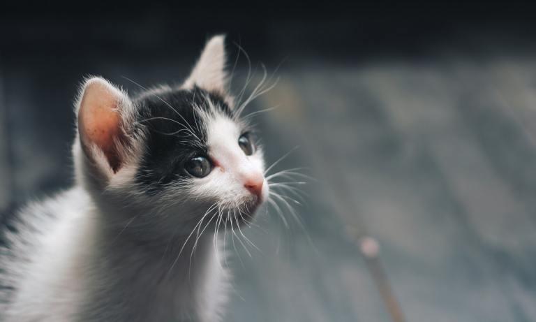Descubre las ventajas de la dieta BARF en gatos
