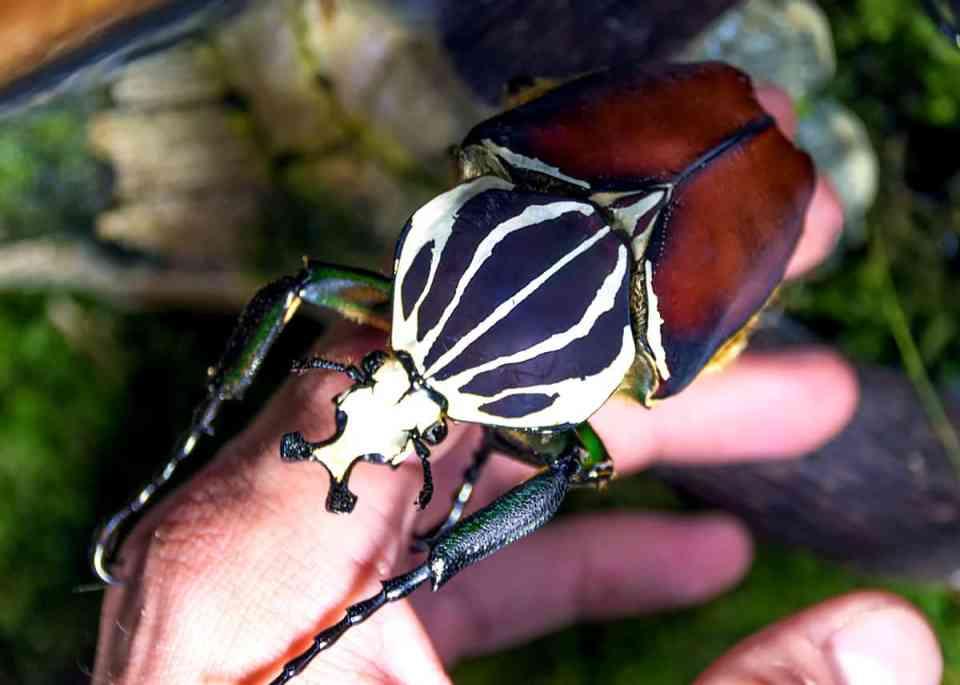 escarabajo Goliat, el insecto más grande del mundo
