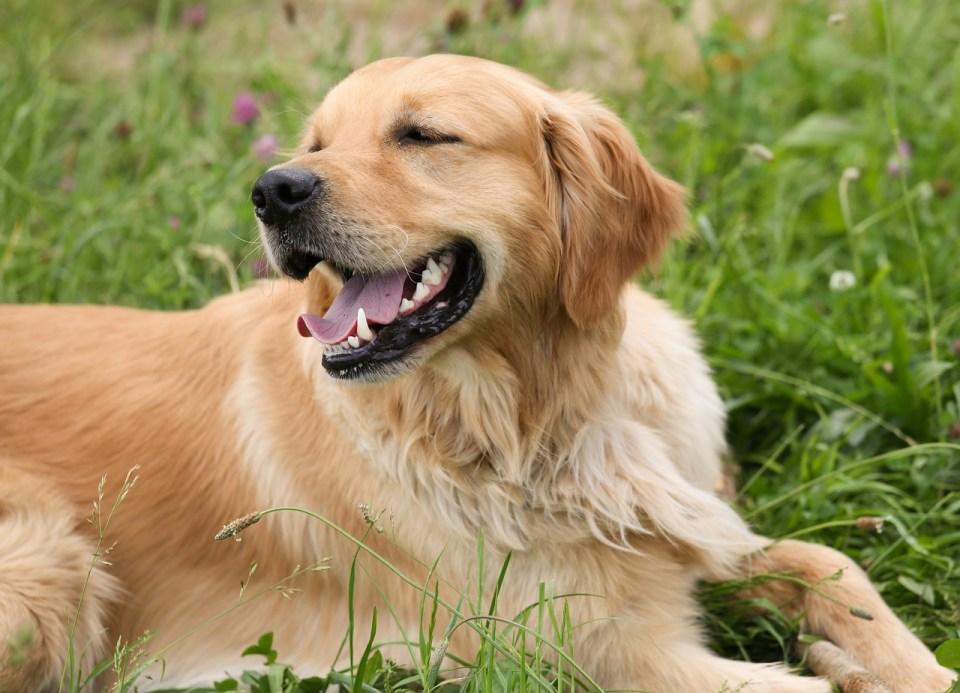 Golden Retriever, mejores razas de perro para ser la primera mascota