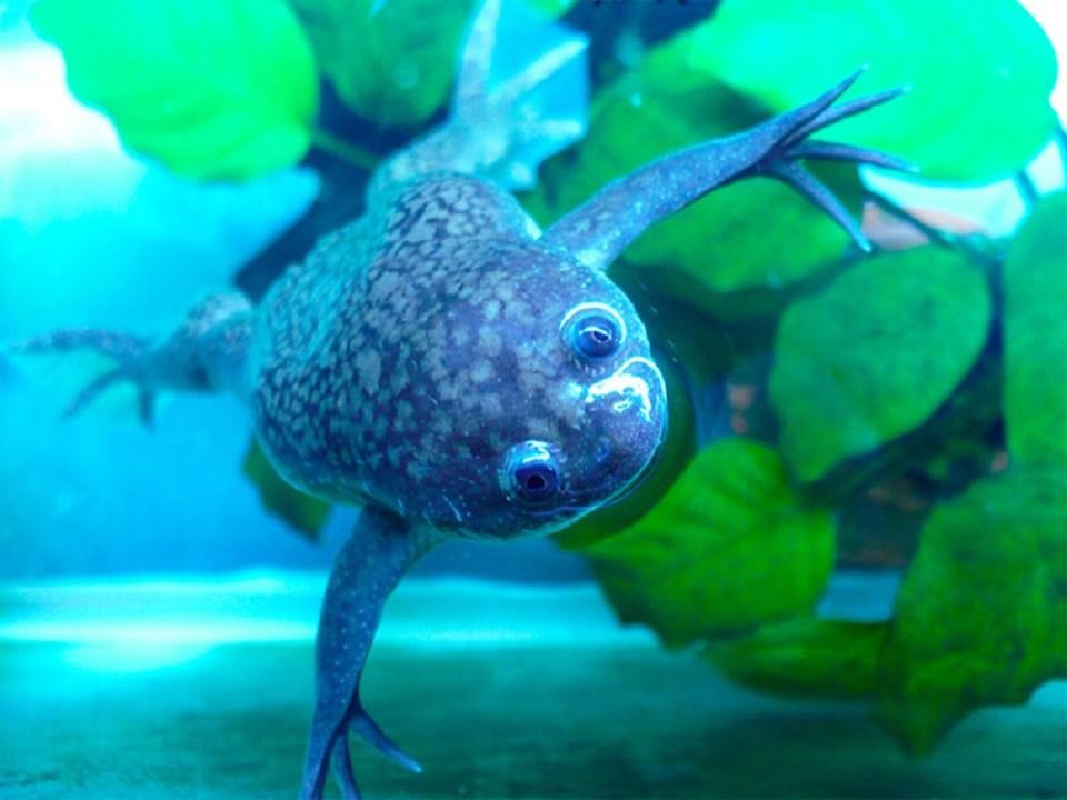 Tipos de ranas se pueden tener en un acuario de agua caliente