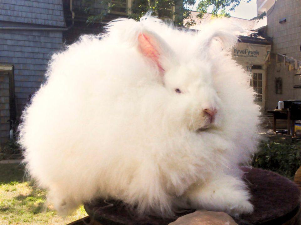 Conejo de angora gigante