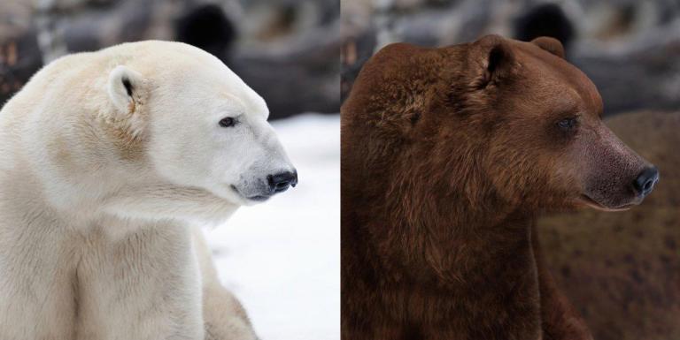 La regla de allen explica la diferencia en los osos