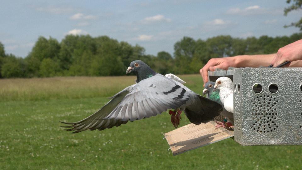 cómo se orientaban las palomas mensajeras