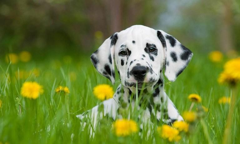 cuidados perro dálmata