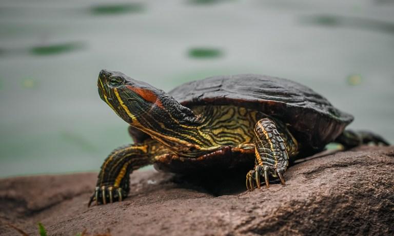 Motivo por el que tener tortugas en casa es malo para tu salud