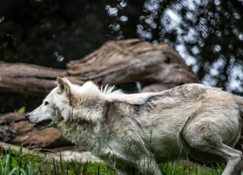 El lobo es animal espiritual dentro de los tótems de los nativos americanos