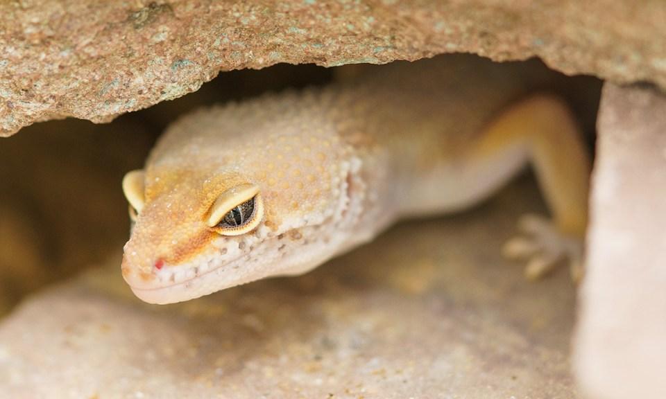 Adaptación de la temperatura interna en el tanque de los pequeños lagartos