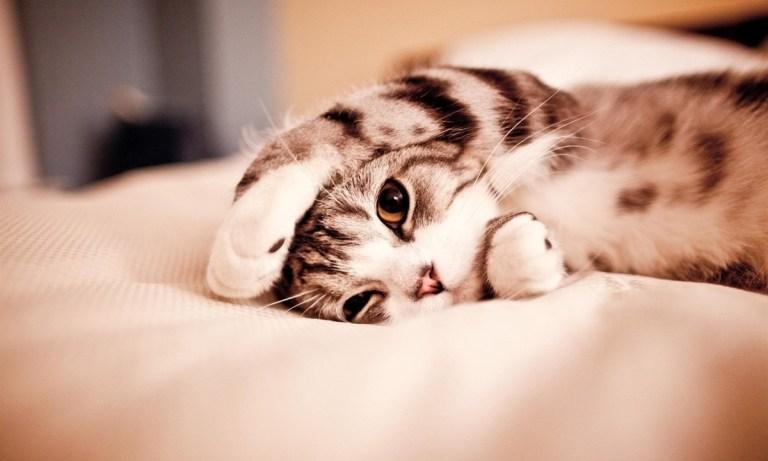 beneficios del ronroneo de los gatos