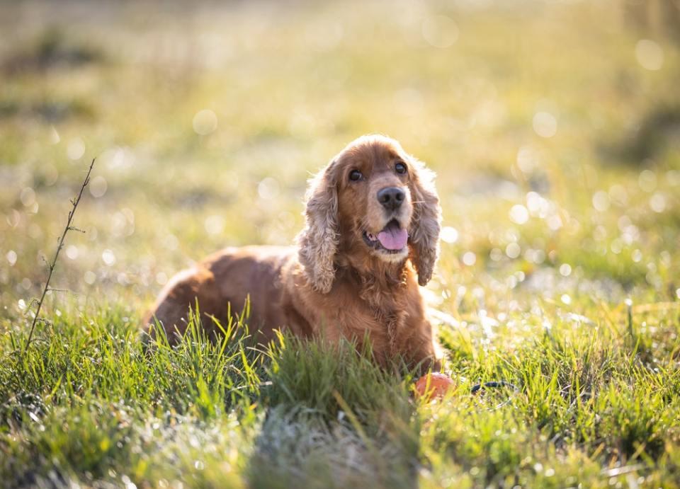El cocker spaniel americano es uno de los perros con orejas largas más populares
