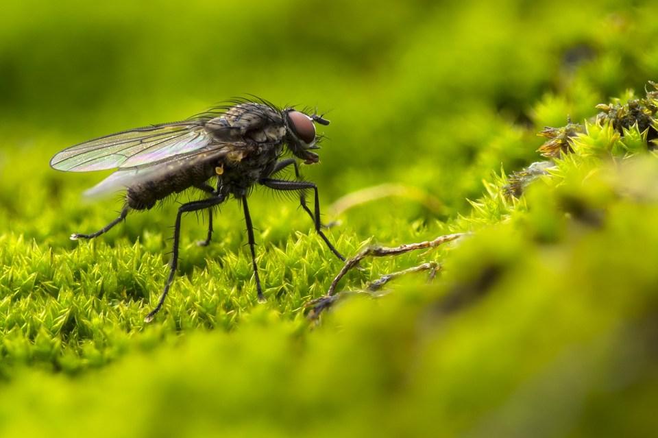 Las moscas transmiten múltiples enfermedades