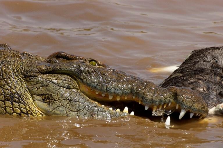 El cocodrilo del Nilo es un inmenso predador que devora desde peces hasta humanos