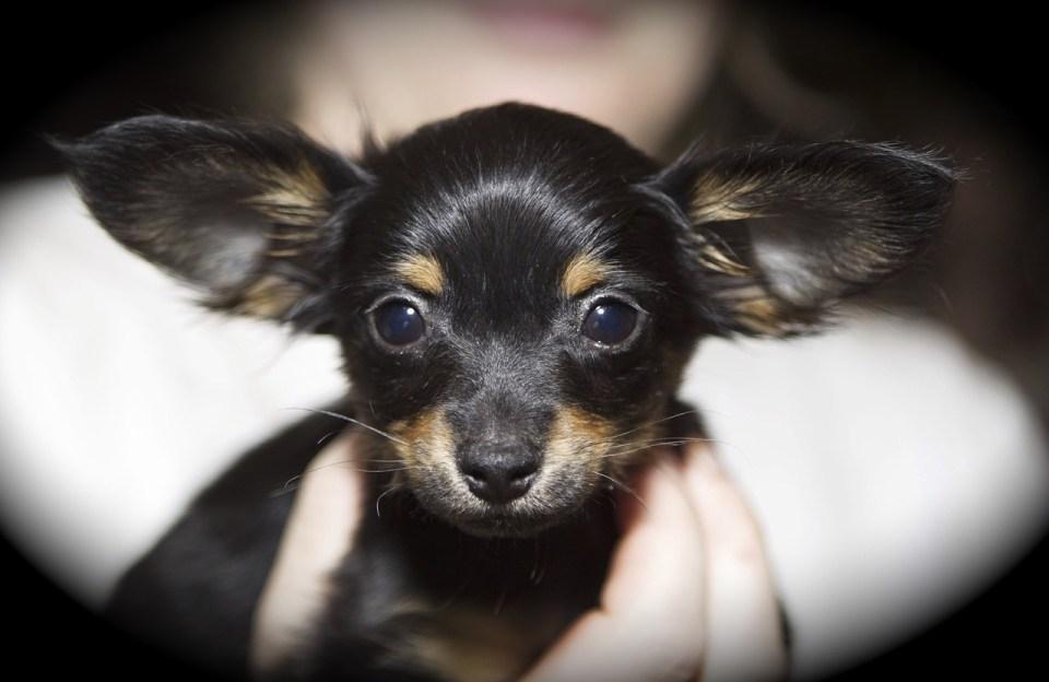 limpiar orejas perro