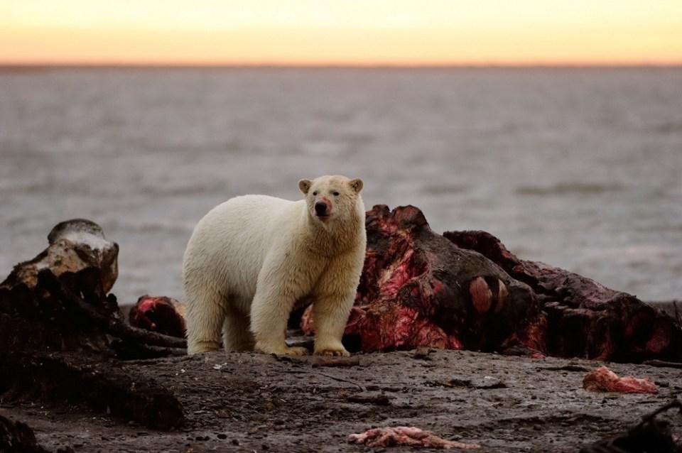 qué comen osos polares supervivencia