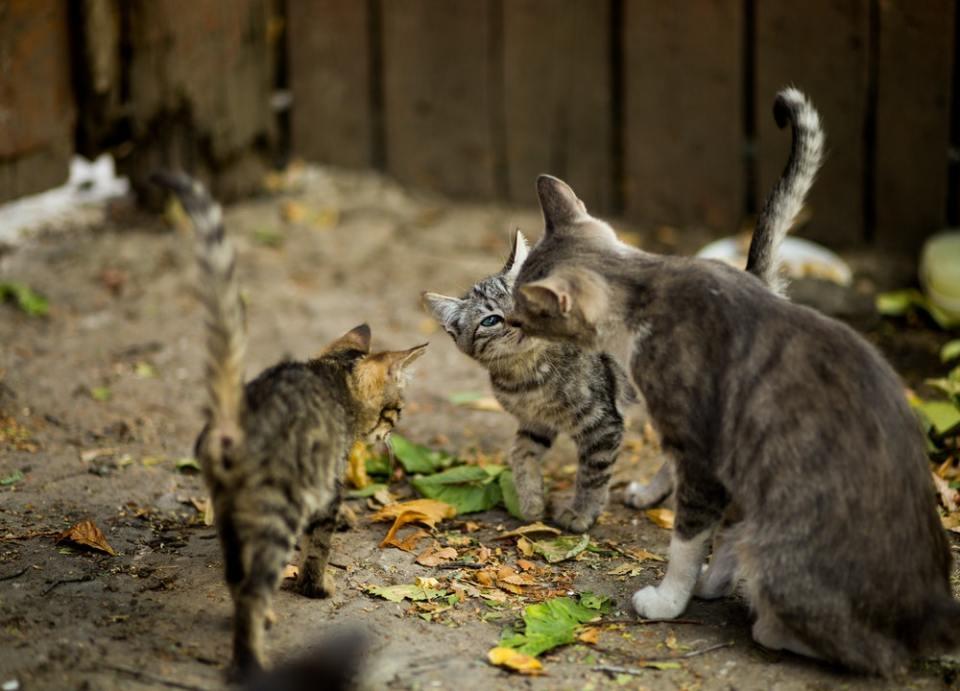Al esterilizar a una gata se reduce la población felina callejera