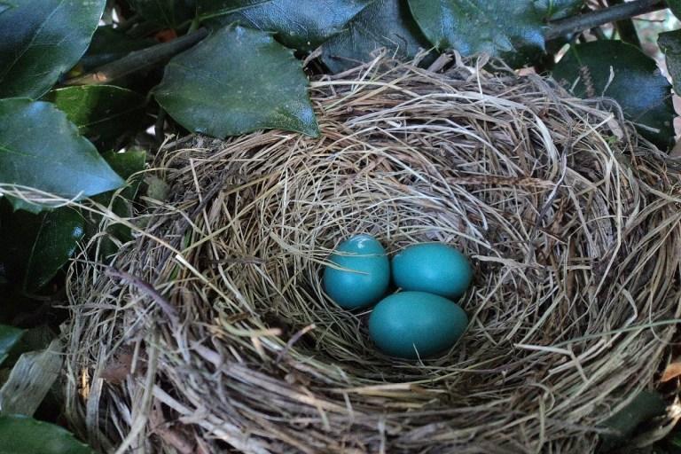 huevos azules de la galliana araucana