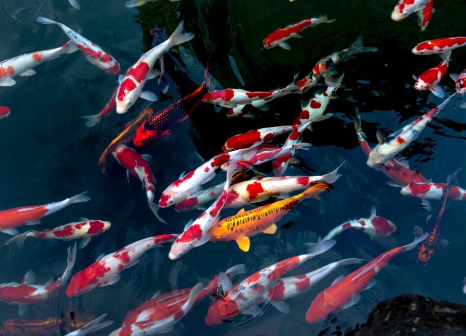 Si quieres comprar peces online para acuarios de gran tamaño, las carpas Koi son la mejor opción