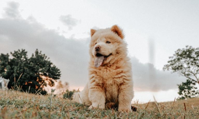 El perro Chow Chow es uno de los más antiguos del mundo