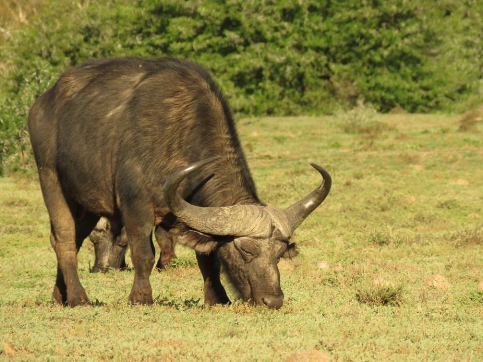 datos curiosos del búfalo