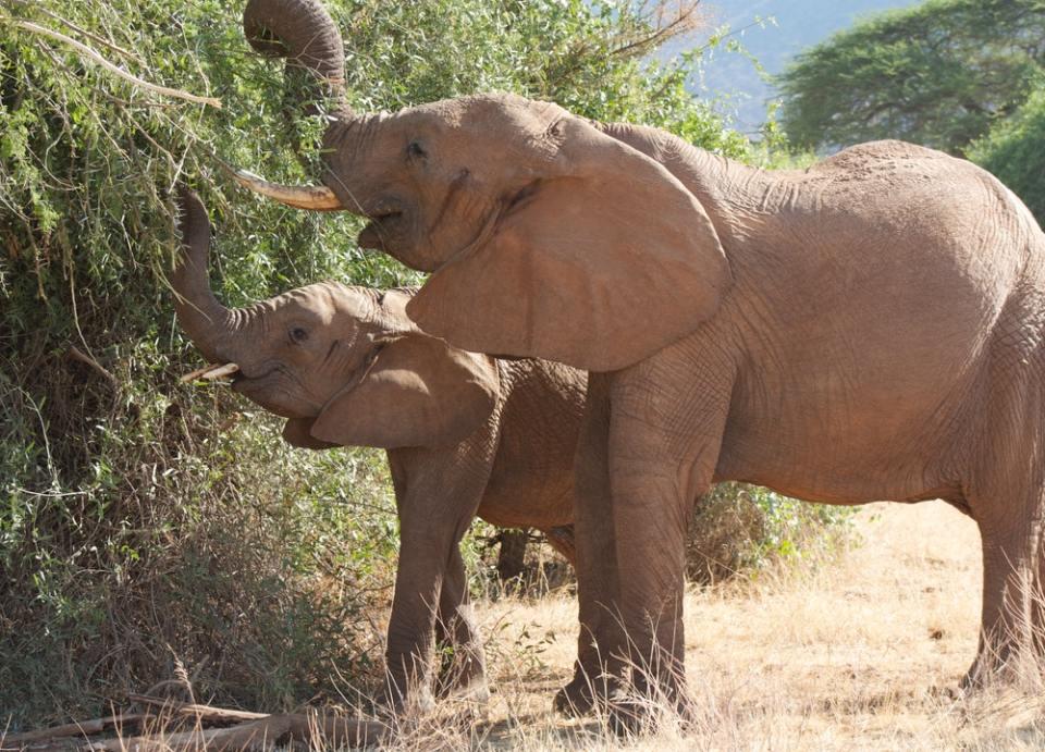 La trompa es el órgano con el que comen los elefantes