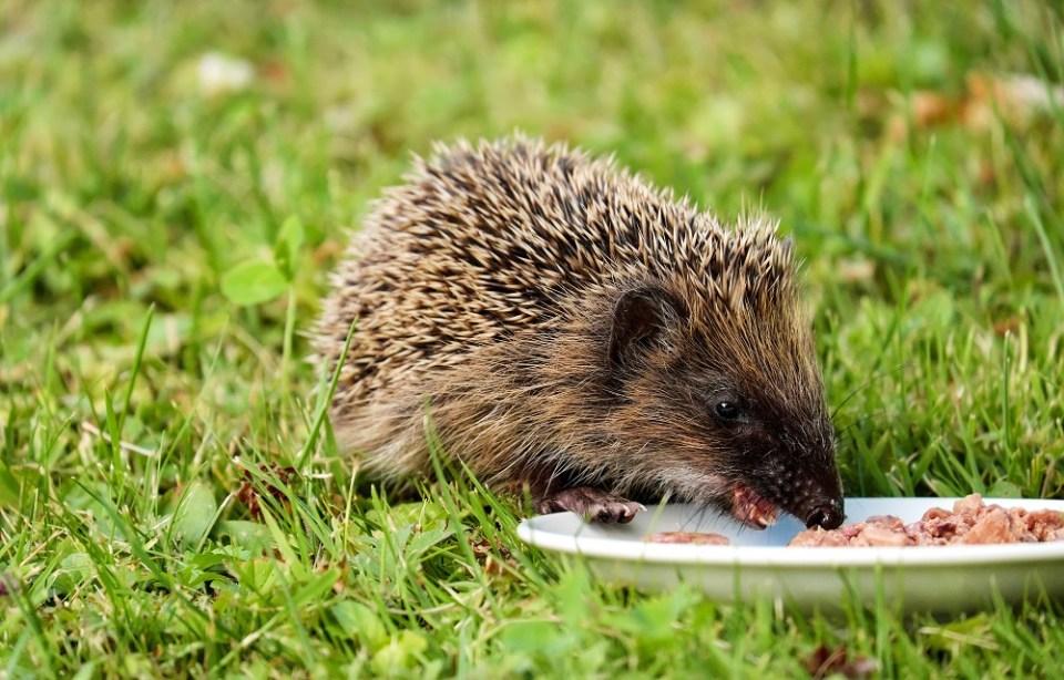 alimentación para un erizo de mascota